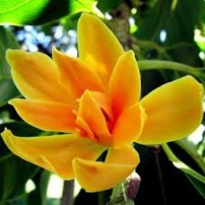 Champaca Flower 35314 1 KG