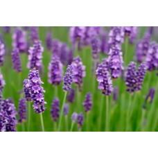Lavender 9196/R 1 KG